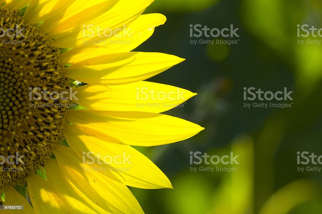 sunflower 6 royalty-free stock photo