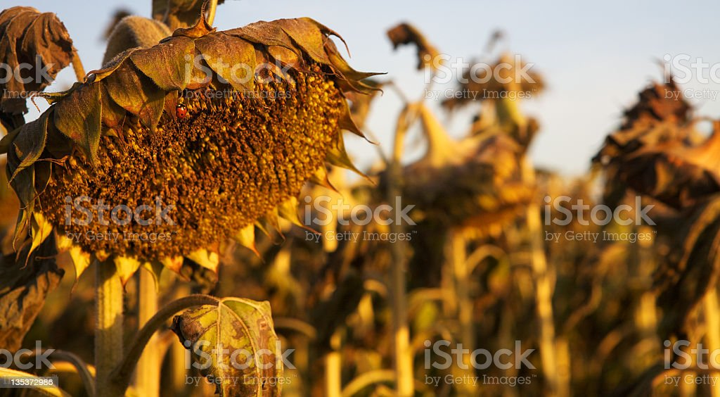 Sunflower after beauty in late sun light. royalty-free stock photo