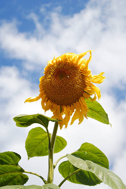 sunflower again the wind with cloudy sky stock photo