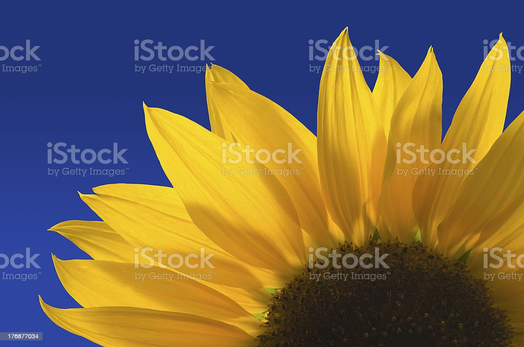 Sunflower against a blue background stock photo