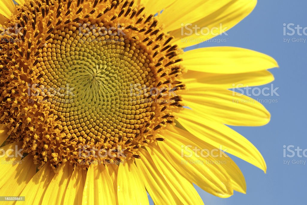 Sunflower against blue sky royalty-free stock photo