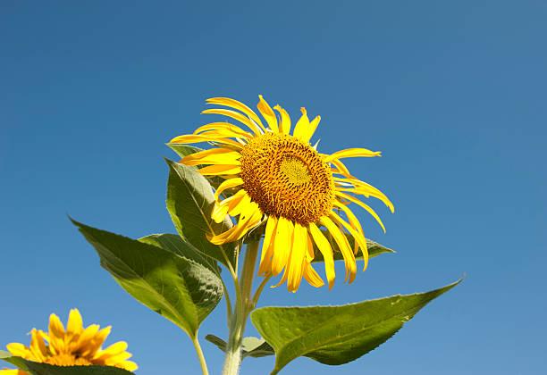 Sunflower against the blue sky stock photo