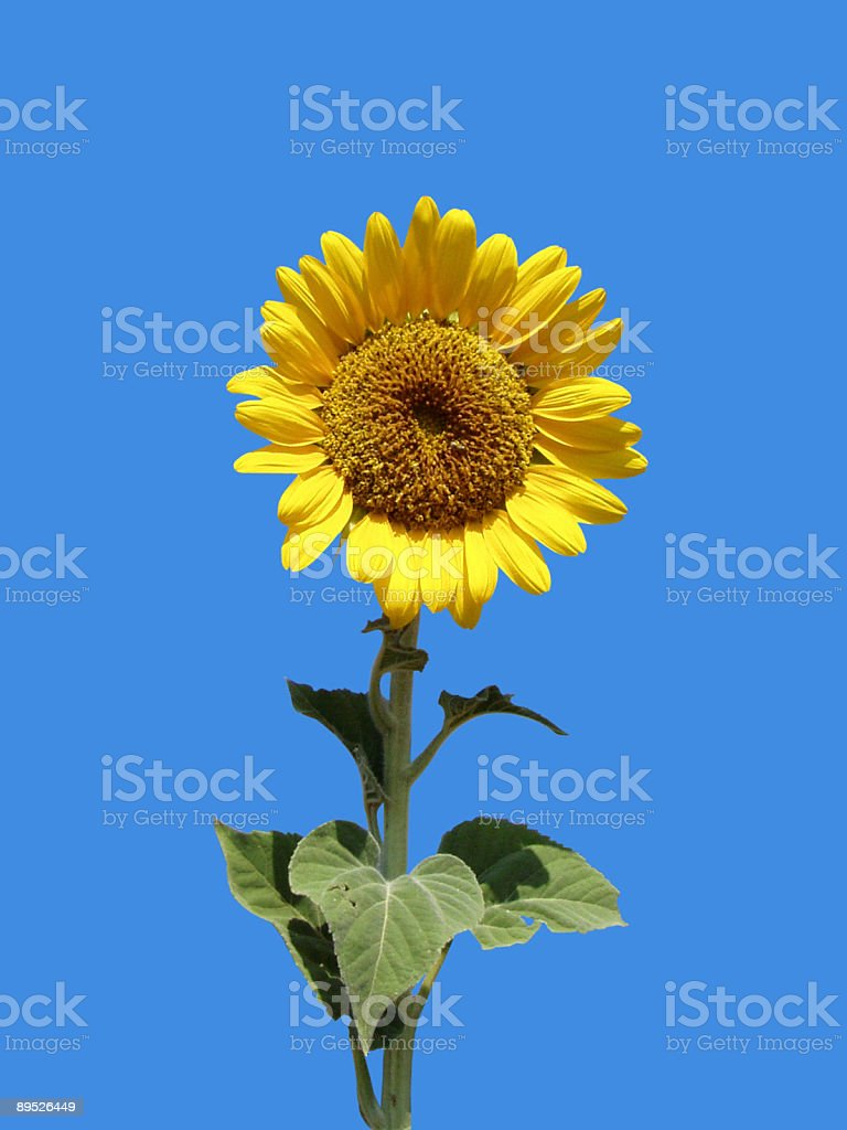 Sunflower against vivid blue sky royalty-free stock photo