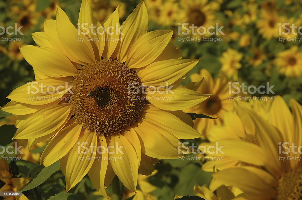 sunflower and a bee royalty-free stock photo
