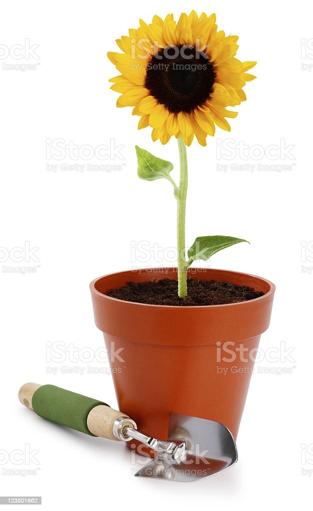 Sunflower and a shovel on White royalty-free stock photo