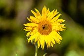 Sonnenblume, Arbeiterbiene, Biene, Blume