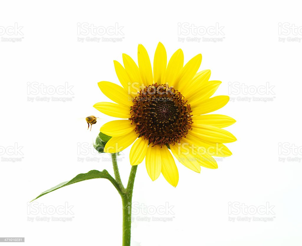 Sunflower and bee royalty-free stock photo
