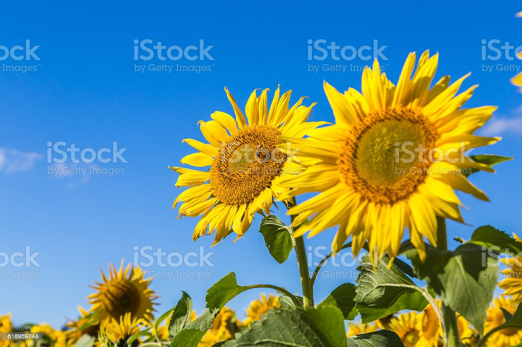 Sunflower and bees stock photo