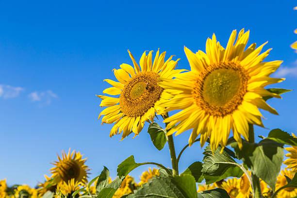 sonnenblume und bees - sonnenblume stock-fotos und bilder