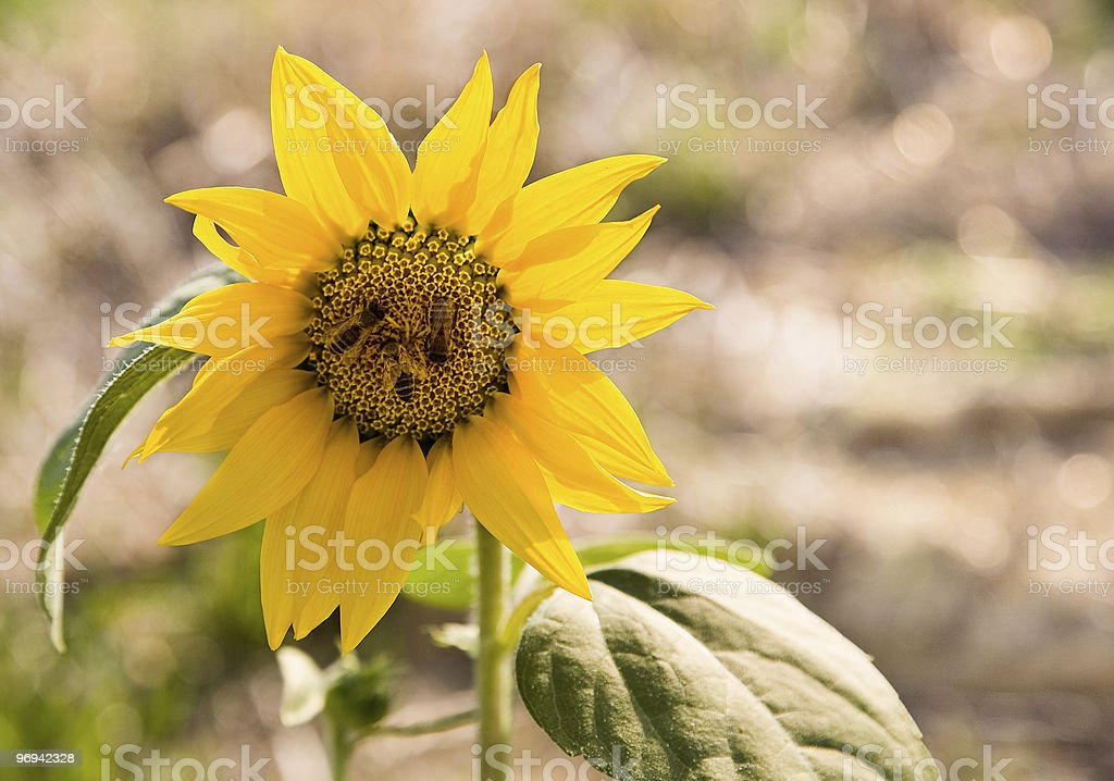 Sunflower and bees royalty-free stock photo