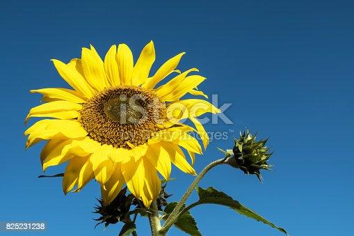 A single sunflower set against a clear blue sky