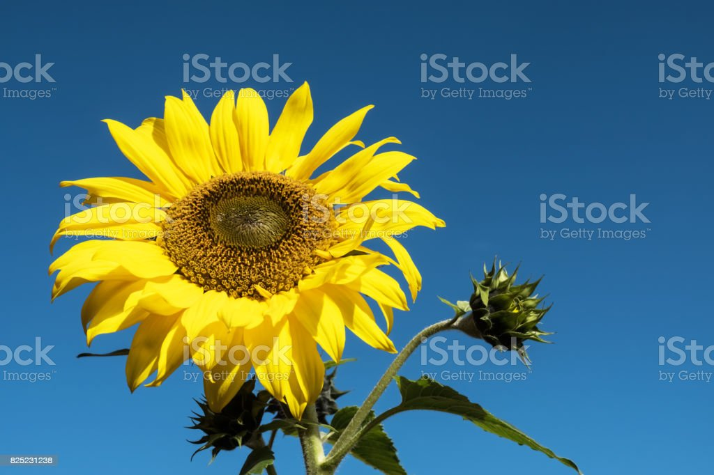 Sunflower and Blue Sky stock photo