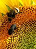 Bumblebees feasting on sweet sunflower nectar