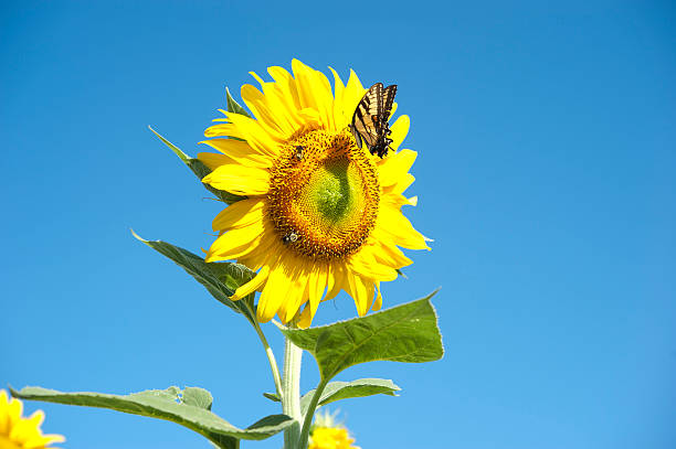 Sunflower and butterfly stock photo