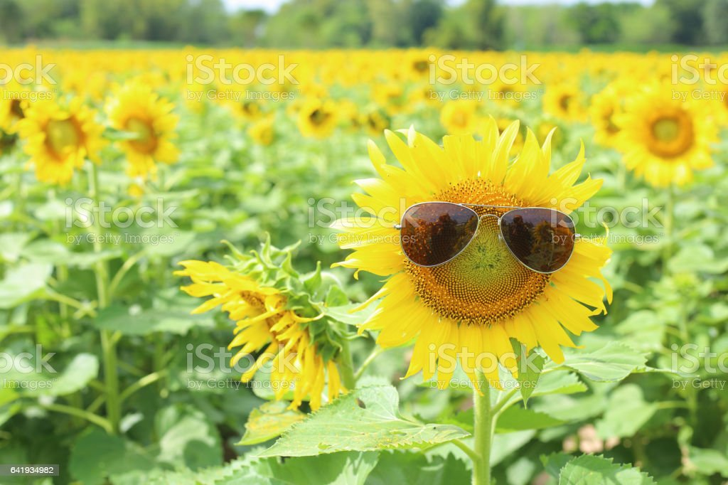 Sunflower and glasses stock photo