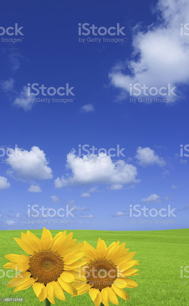 Sunflower and green field. stock photo