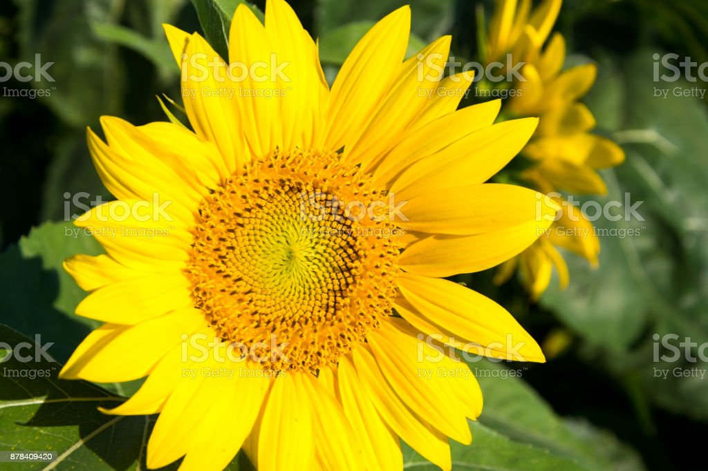 Sunflower and green leaves stock photo