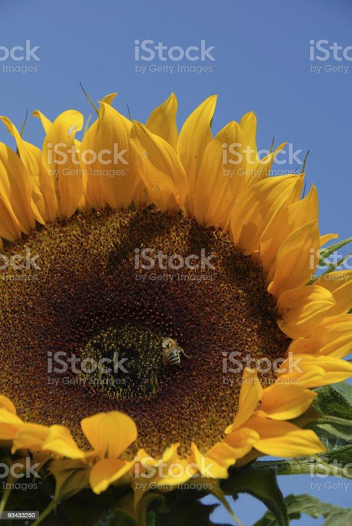 Sonnenblume und Honeybee Lizenzfreies stock-foto