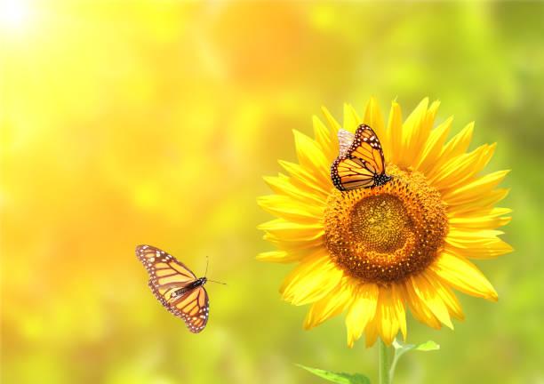 sonnenblumen und monarchfalter auf sonnigen der hintergrund jedoch unscharf - sonnenblume stock-fotos und bilder