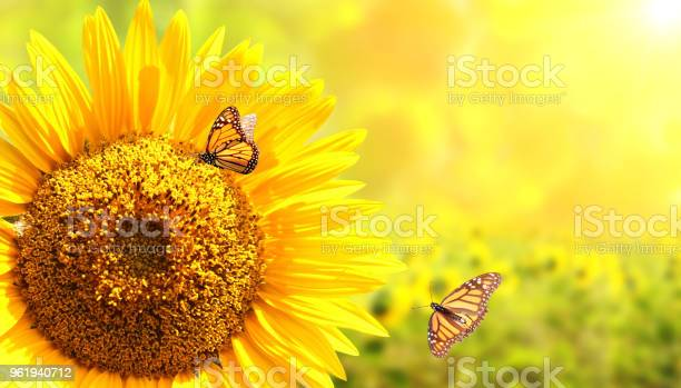 Sunflower and monarch butterflies on blurred sunny background picture id961940712?b=1&k=6&m=961940712&s=612x612&h=ktm0btuktj2in7hpiguxjwphzllbf324ajgavuavriu=