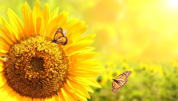 Sunflower and monarch butterflies on blurred sunny background picture id961940712?b=1&k=6&m=961940712&s=612x612&w=0&h=x7bzm263i2luvbbuqlkrgiiyoagb9iifn 19k8et8bs=