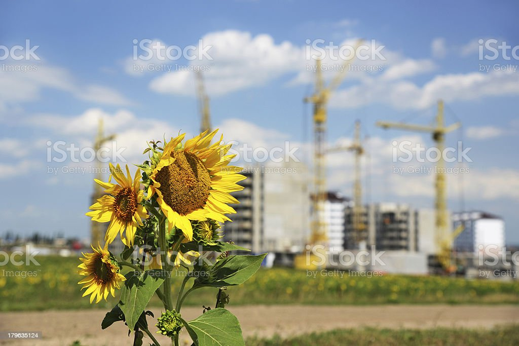 Sunflower and new building royalty-free stock photo