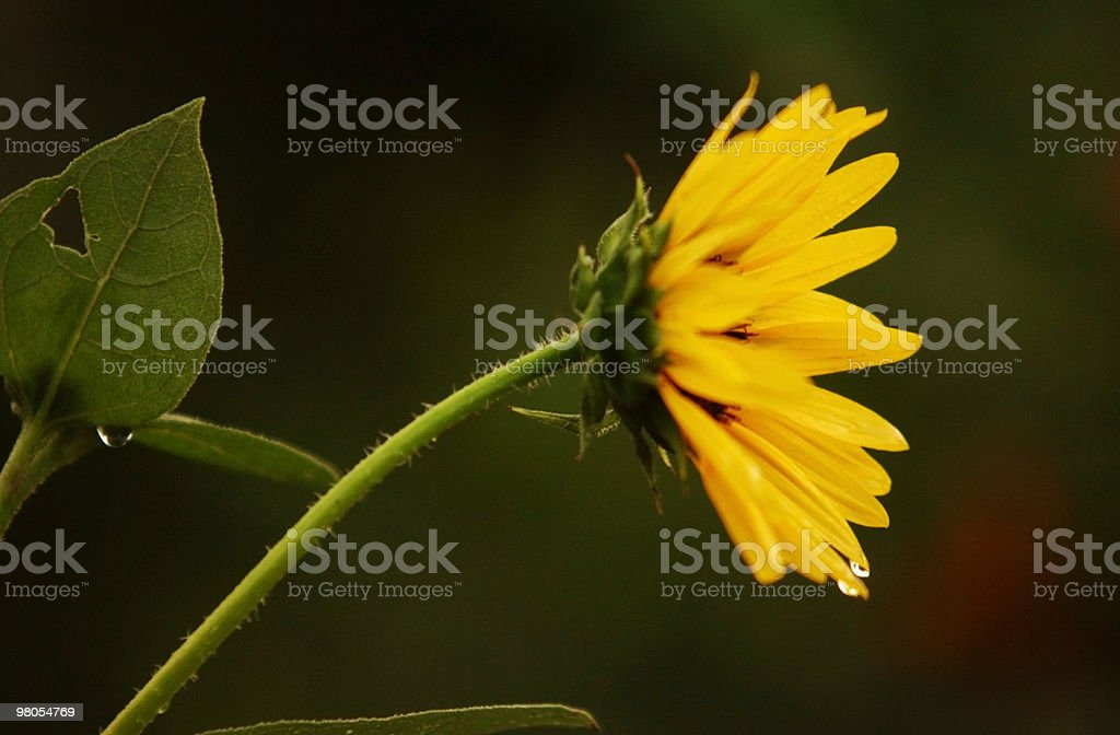 Sunflower and rain drops royalty-free stock photo