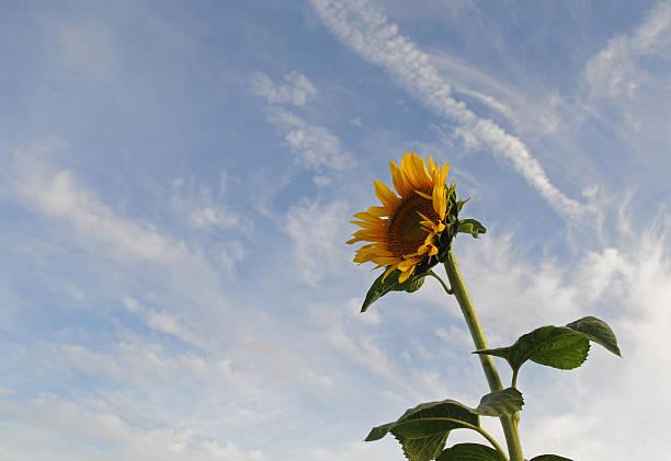 sunflower and sky, Mandera in Kenya stock photo