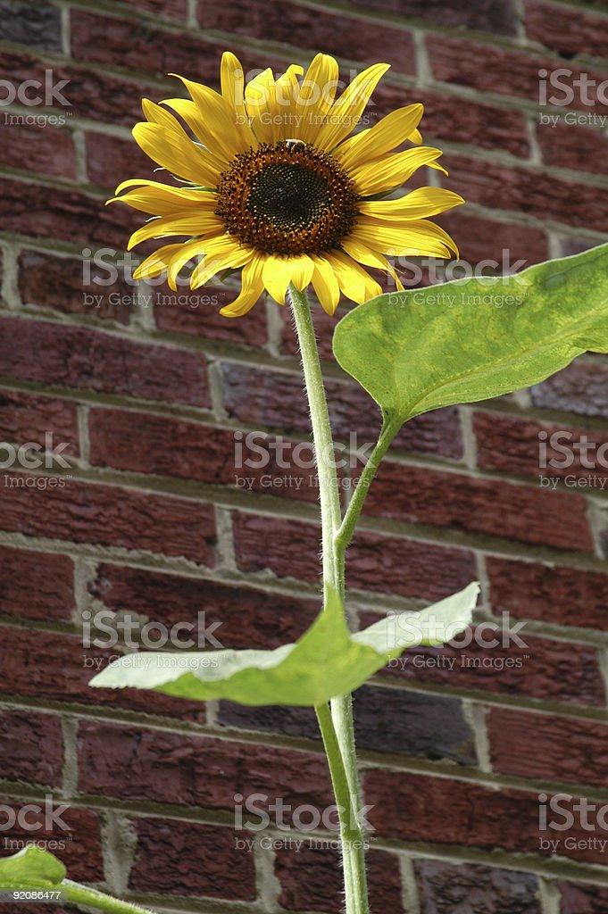 Sunflower and stem stock photo