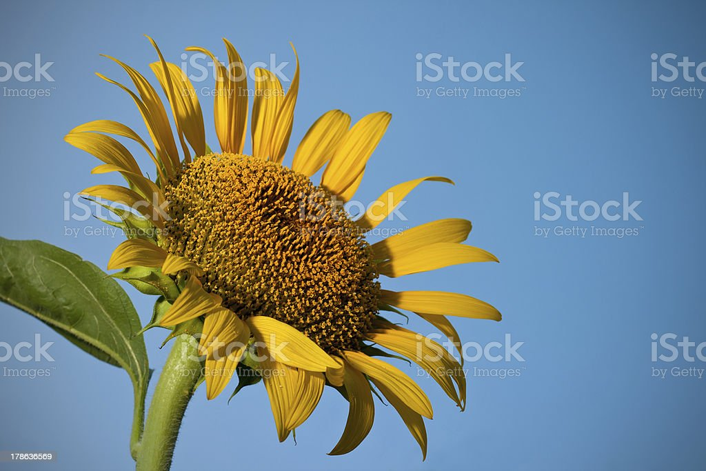 Sunflower and the Sky. royalty-free stock photo