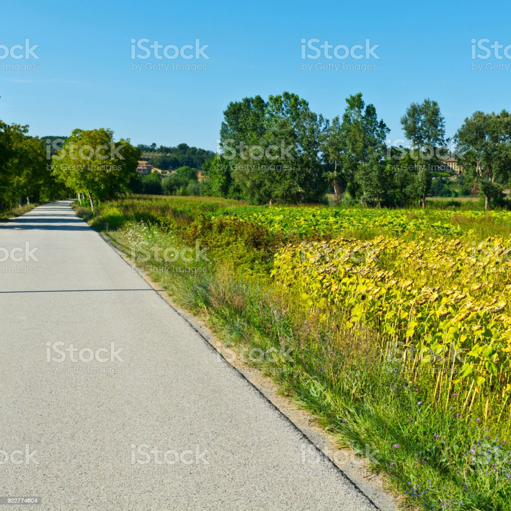 Sunflower and tobbaco plantation stock photo