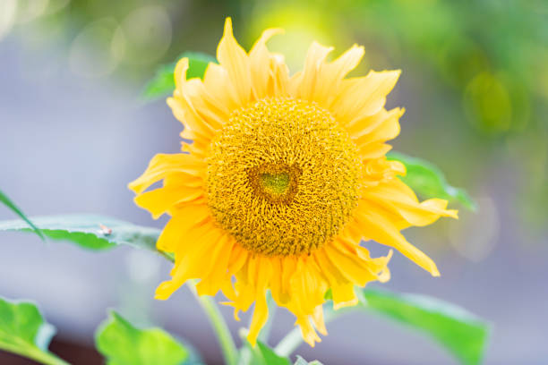 Sunflower as a heart shapevalentines day picture id1299735306?b=1&k=6&m=1299735306&s=612x612&w=0&h=z12cwhvb5sjedrzwyvz 3nefbjvl balfrznsd36d24=