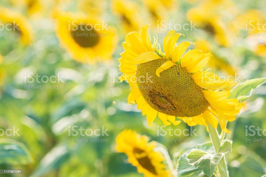 Sonnenblume am Nachmittag – Foto