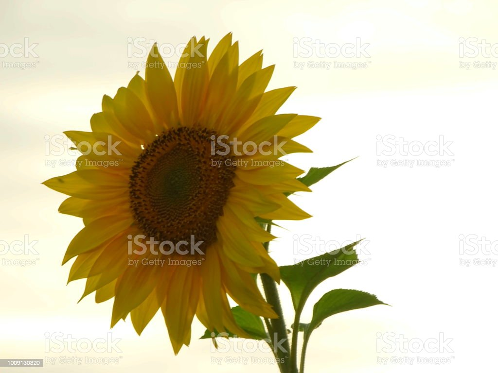 Sonnenblume im Sonnenuntergang – Foto