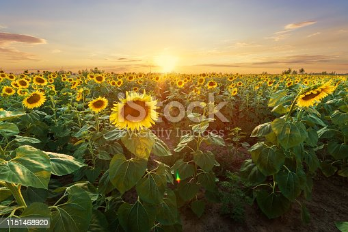 bright sunflower on Vaughan of a beautiful sunset