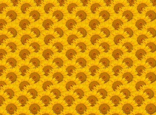 Sunflower background picture id1076565296?b=1&k=6&m=1076565296&s=612x612&w=0&h=v4ulxwiwfkzrqzmnvtxfkysx5sb9t56yn0jso ap2yo=