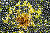istock Sunflower background, soft focus. Macro of the seeds and flowers of ripening sunflower 1347466358