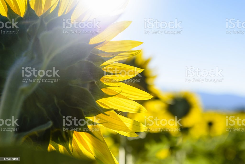 Sunflower - backlit closeup royalty-free stock photo