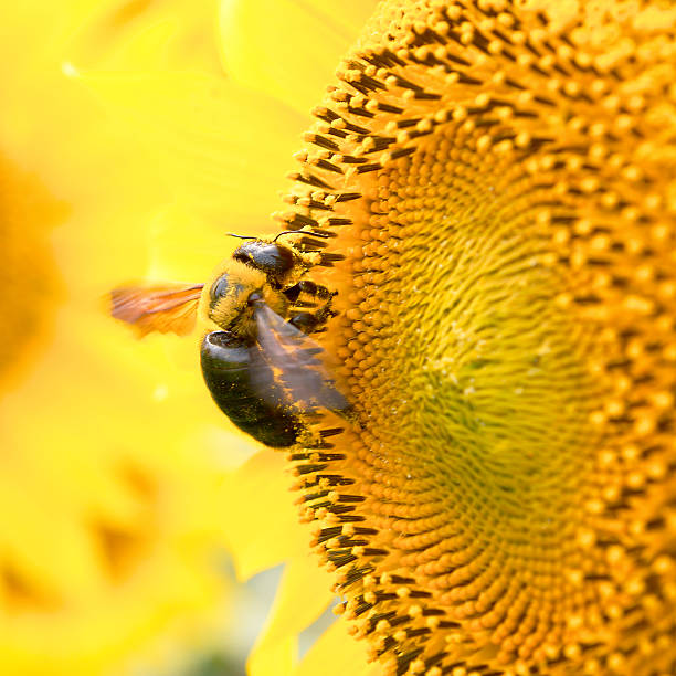 sunflower bee - stamen stock photos and pictures