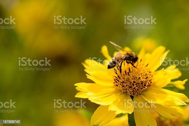 Photo of sunflower bee XXL