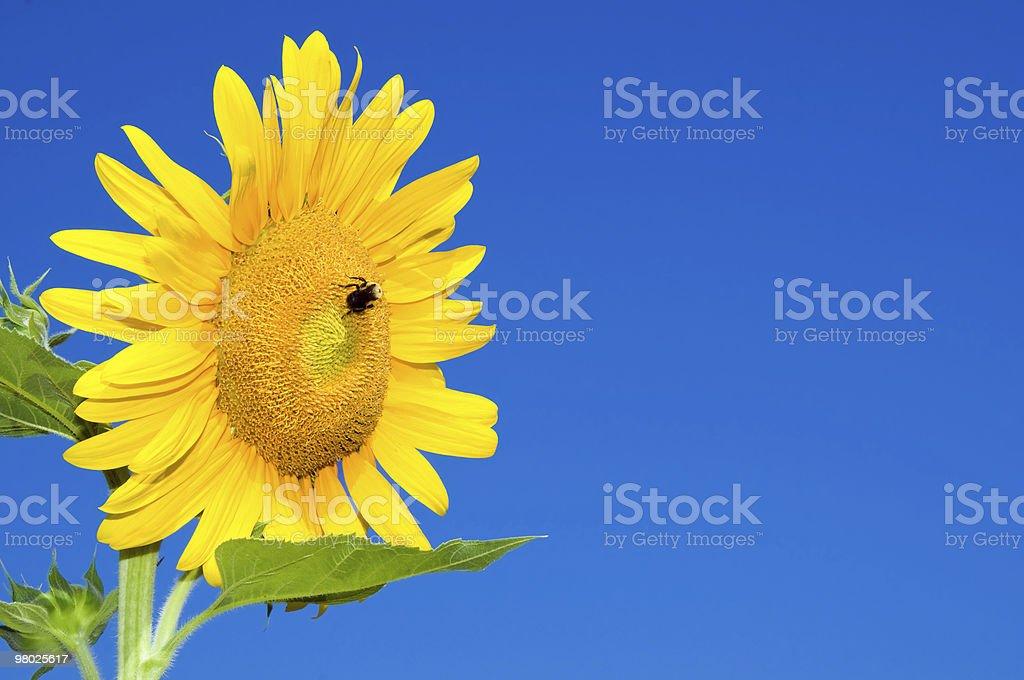 Fiore fiore contro blu foto stock royalty-free