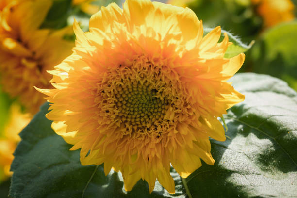 Sunflower bloom closeup stock photo