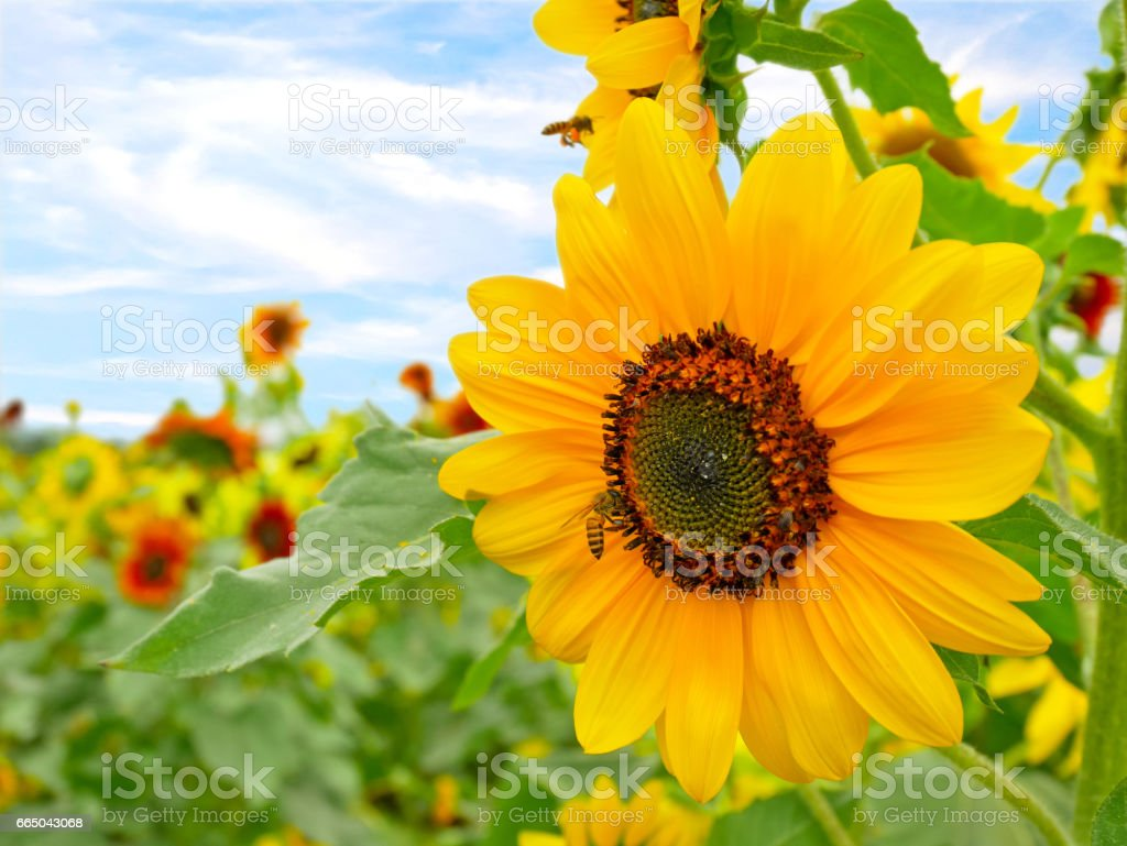 Sunflower blooming in a field stock photo
