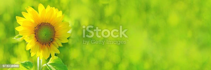 Bright yellow sunflower on blurred green field background. Sunflower blooming.