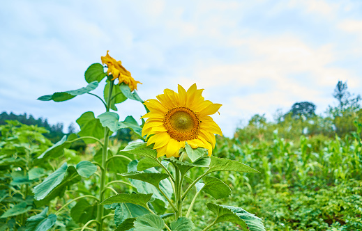 Sunflower blooms with the sky with clouds and the natural background. Close up the sunflower and space for copy.