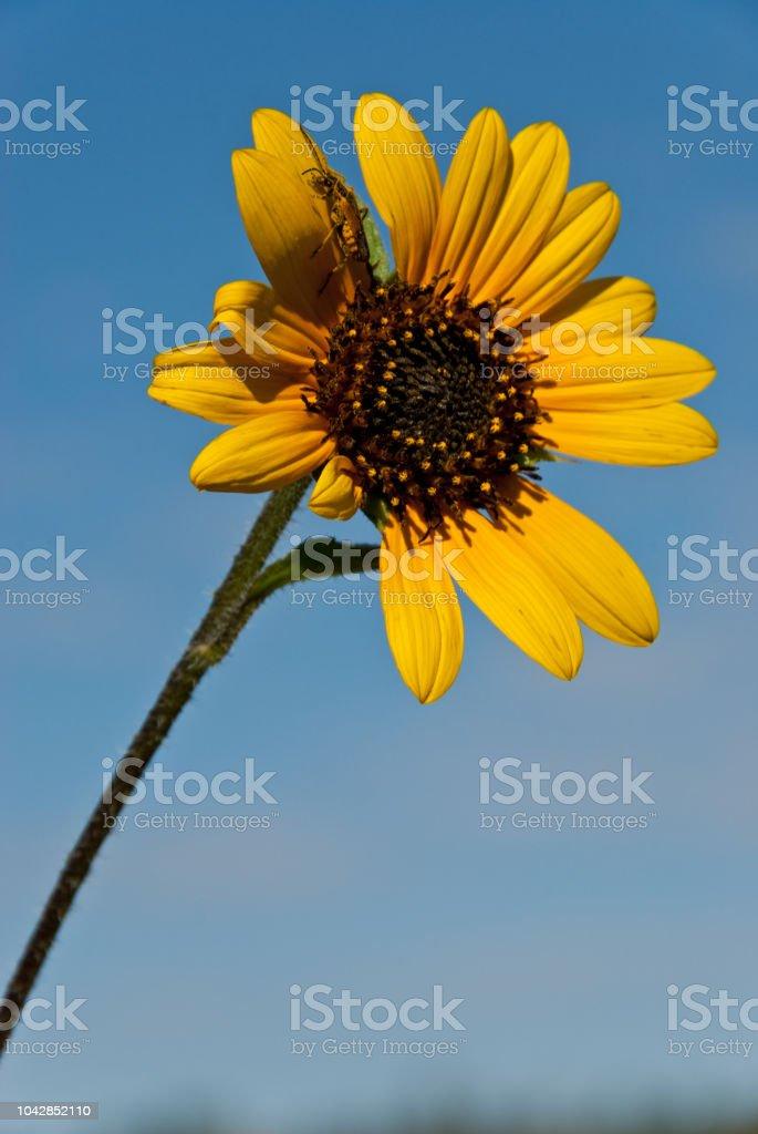 Sunflower Blossom stock photo