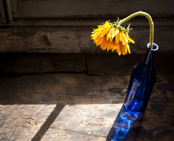 Sunflower, blue bottle, sunlight stock photo