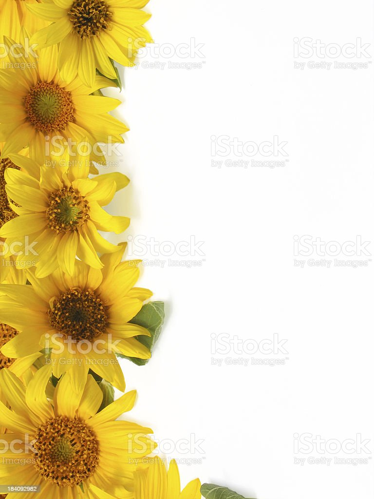 sunflower border stock photo  u0026 more pictures of