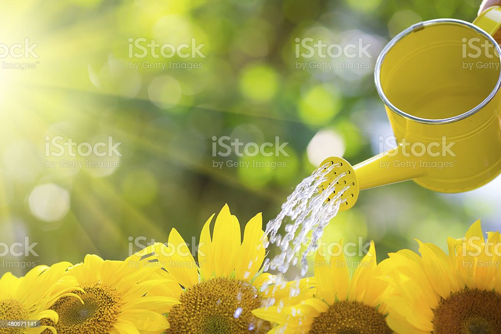 Sonnenblume Grenze – Foto