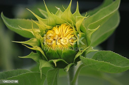 Sunflower in bud just opening, exposing petals ready to bloom.